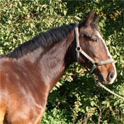 Häst-Amadejs-1