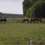 Ridskolan har stora fina hagar där hästarna får komma ut varje dag