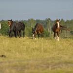 Domestic horses (Equus ferus caballus), Munsö, Sweden