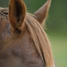 Domestic horse (Equus ferus caballus), Munsö, Sweden